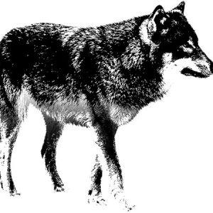 Wolf Outline / 狼-アウトライン