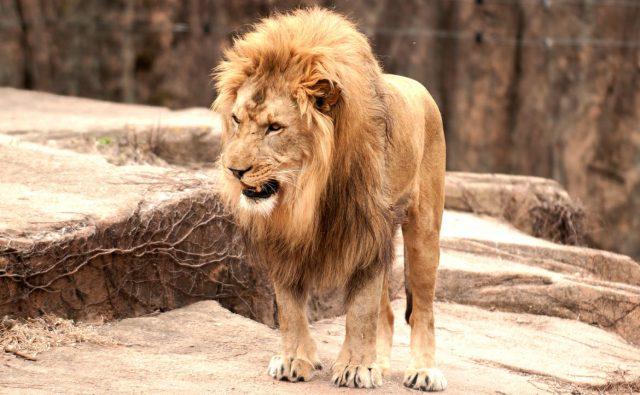 勇猛なライオン